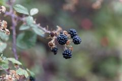 Плоды святого sanctus рубуса ежевичника стоковые изображения rf