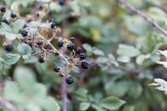 Плоды святого sanctus рубуса ежевичника стоковая фотография