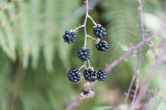 Плоды святого sanctus рубуса ежевичника стоковая фотография rf