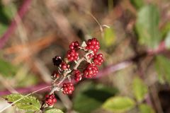 Плоды святого sanctus рубуса ежевичника стоковое фото