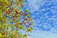 Плоды шиповника дикой собаки - canina Розы, Вустершир, Англия Стоковое Изображение RF