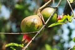 Плод гранатового дерева и flowerplant конец вверх по взгляду стоковое фото