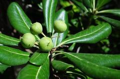 Плод грецкого ореха с листьями Стоковое Изображение