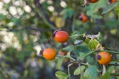 Плод шиповника и зрелые плодоовощи, изображения плода шиповника магазина витамина c заводов плода шиповника приносить, органическ Стоковые Изображения