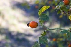 Плод шиповника и зрелые плодоовощи, изображения плода шиповника магазина витамина c заводов плода шиповника приносить, органическ Стоковое Изображение