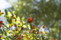 Плод шиповника и зрелые плодоовощи, изображения плода шиповника магазина витамина c заводов плода шиповника приносить, органическ Стоковая Фотография
