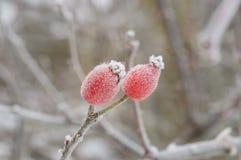 Плод шиповника покрытый с льдом Стоковое Фото