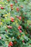 Плод шиповника Стоковая Фотография