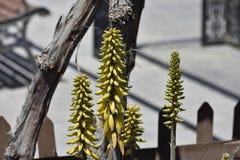 Плод vera алоэ подобный небольшим желтым бананам стоковое фото rf