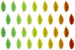 Плоские листья зеленого цвета положения на деревянной предпосылке Взгляд сверху зеленого leav Стоковые Изображения RF