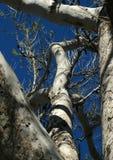 Плоское дерево весной Стоковая Фотография