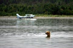 плоскости гризли поплавка медведя Стоковая Фотография RF