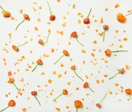 Плоск-положение оранжевого лютика цветет над белой предпосылкой Стоковая Фотография