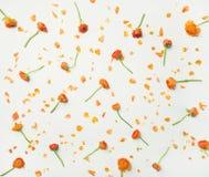 Плоск-положение оранжевого лютика цветет над белой предпосылкой, взгляд сверху Стоковое Фото