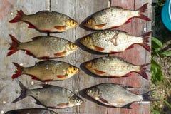 Плотва европейца свежих рыб Стоковое Фото