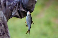 Плотва рыб небольшая вися на крюке на зеленом крупном плане предпосылки Рыболов уловил dace рыб, rutilus Серебр стоковые изображения rf