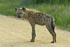 плотина biyamiti запятнанная hyena стоковая фотография rf