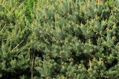 Плотная группа вечнозеленых деревьев Стоковое Изображение