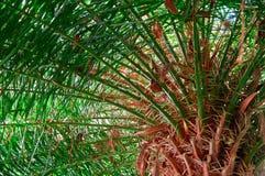 Плотная зеленая ладонь кроны, взгляд снизу Радиально дивергентные ветви от грубого грубого яркого краснокоричневого ствола дерева стоковая фотография rf