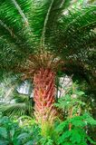Плотная зеленая ладонь кроны, взгляд снизу Радиально дивергентные ветви от грубого грубого яркого краснокоричневого ствола дерева стоковые фотографии rf