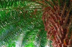 Плотная зеленая ладонь кроны, взгляд снизу Радиально дивергентные ветви от грубого грубого яркого краснокоричневого ствола дерева стоковые фото