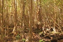 плотная мангрова Стоковая Фотография RF