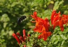 плотник пчелы Стоковое Изображение