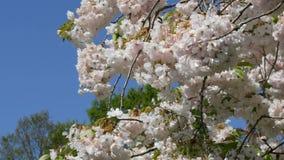 Плотно цветя вишневое дерево в парке Keukenhof, Голландии Туристы фотографируют и идут в парк акции видеоматериалы