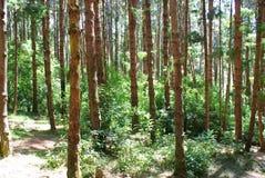 плотный зеленый цвет пущи Стоковое фото RF