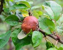 Плохая коричневая тухлая смертная казнь через повешение яблока на дереве Стоковые Изображения
