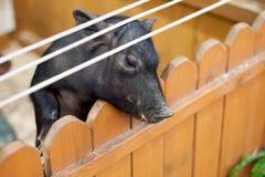 Плохая маленькая свинья на petting зоопарке Стоковые Изображения