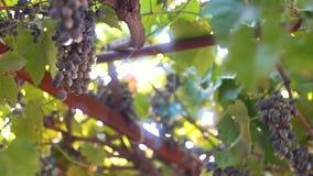 Плохие красивые виноградины на плантации акции видеоматериалы