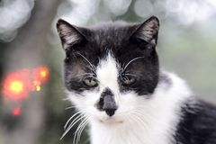 Плохой тощий кот с несимметричной светотеневой расцветкой стоковые фотографии rf