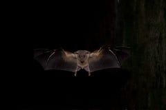 плодоовощ египтянина летучей мыши Стоковые Изображения