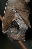 плодоовощ летучей мыши Стоковое фото RF