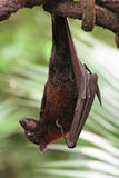 плодоовощ летучей мыши Стоковые Фото