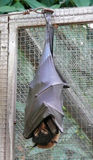 плодоовощ лисицы летания летучей мыши Стоковая Фотография RF