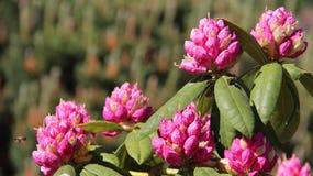 Плюшки и рододендрон цветения розовый Стоковая Фотография