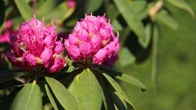 Плюшки и рододендрон цветеня розовый Стоковое Изображение RF