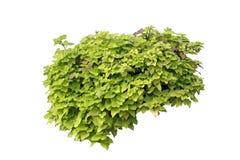 плющ изолированный зеленым цветом Стоковая Фотография