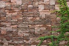 Плющ на стене Стоковое Фото