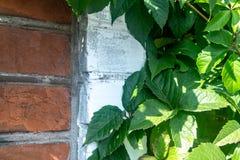 Плющ на фоне кирпичной стены солнечного дня листья зеленого цвета Конец-вверх стоковые фото