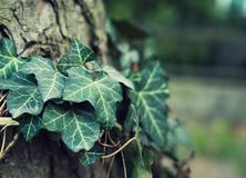 Плющ отравы на дереве стоковое изображение