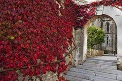 плющ покрашенный осенью красный Стоковые Фото