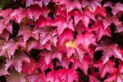 Плющ с листьями красного цвета и зеленого цвета на красной кирпичной стене во время падения Стоковое Фото