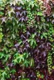 Плющ с листьями красного цвета и зеленого цвета на красной кирпичной стене во время падения Стоковые Изображения