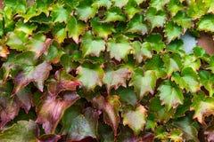 Плющ с листьями красного цвета и зеленого цвета на красной кирпичной стене во время падения Стоковая Фотография RF