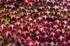 Плющ с листьями красного цвета и зеленого цвета на красной кирпичной стене во время падения Стоковое фото RF