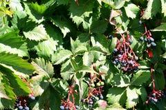 плющ ягод Стоковое Изображение