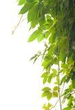 плющ Стоковая Фотография RF